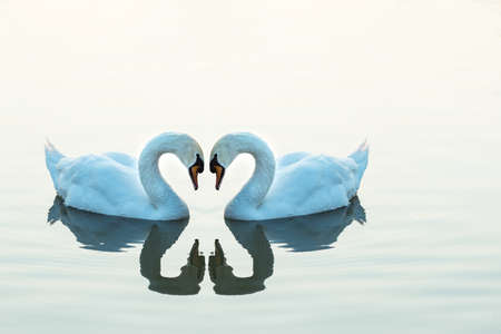 Two swans facing each other in the shape of a heart