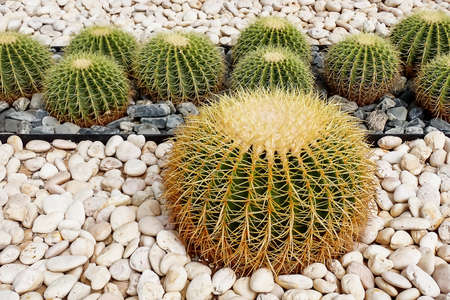 Golden barrel cactus, Botanicactus Park