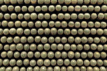 Beautifully arranged numerous cactus walls 版權商用圖片