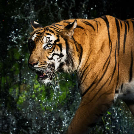 Young tiger is creeping for prey / wild animal in nature 版權商用圖片