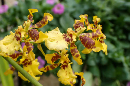 Yellow oncidium orchids bloom in the tropical garden