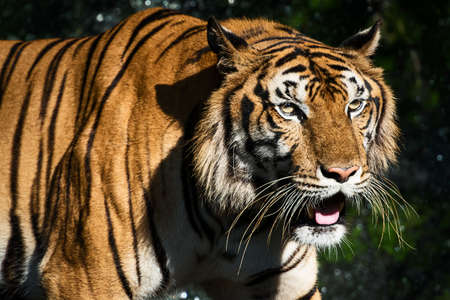 The tiger prowl for food in the forest / wild animal in nature.