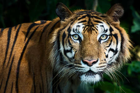 The tiger looked at me, his eyes looked at me with interest.