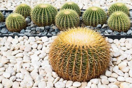 Close up Picture of small round cactus on white stones. 版權商用圖片