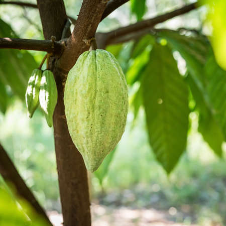 Green cocoa fruit on its tree, raw cacao beans, Cocoa pod on the tree.