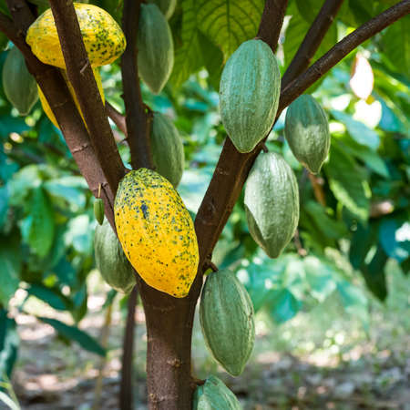 Yellow And Green cocoa fruit on its tree, raw cacao beans, Cocoa pod on the tree.