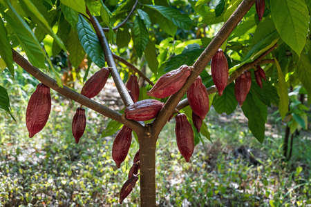 Red cocoa fruit on its tree, raw cacao beans, Cocoa pod on the tree.