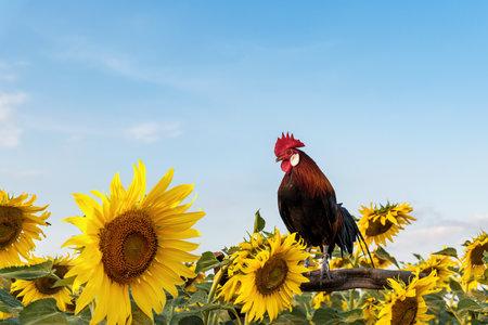 Big bright yellow sunflowers. The abundance of natural products 版權商用圖片