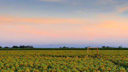 Large bright yellow sunflower field An abundance of natural products