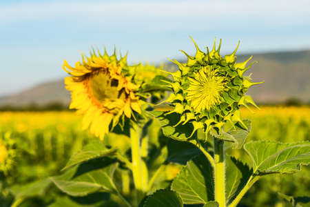 Young sunflowers are blooming in the field.