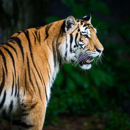 The tiger is looking for food in the forest. 版權商用圖片