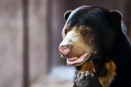 face at sun Bear (Helarctos malayanus)Sun Bear (Helarctos malayanus)