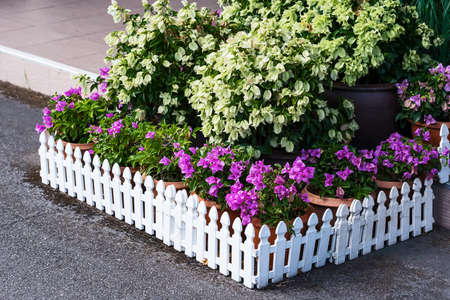 A white wooden fence adorns the beautiful bougainvillea flower in front of the house.