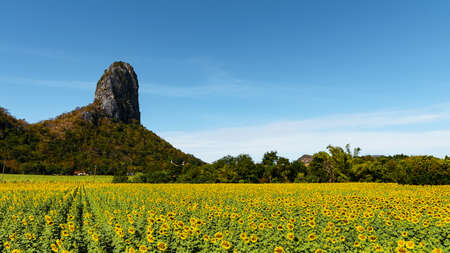 Large bright yellow sunflower fields against a backdrop of high mountains and clear skies.