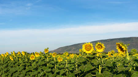 A bright yellow sunflower field in full bloom and blue sky 版權商用圖片