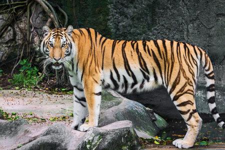 The tiger looked at me. 版權商用圖片