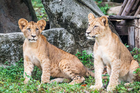 Two Lion cubs stand looking at interesting things. 版權商用圖片