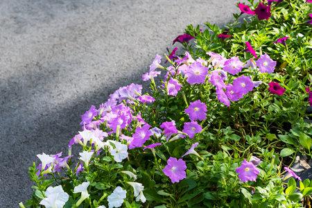 Summer flower petunia colorful blossom