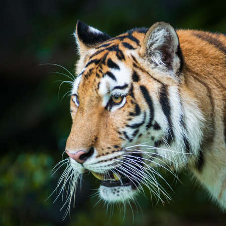 Close-up of a tiger's face. (Panthera tigris corbetti) in the natural habitat, wild dangerous animal in the natural habitat, in Thailand.