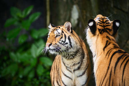 Two tiger stands to look at something with interest. 版權商用圖片