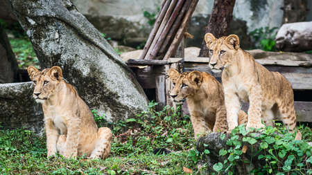 Three Lion cubs stand looking at interesting things.