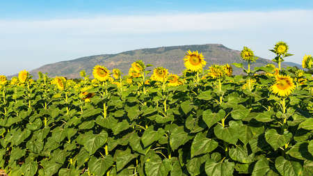 A bright yellow sunflower field in full bloom and blue sky 版權商用圖片 - 162679981