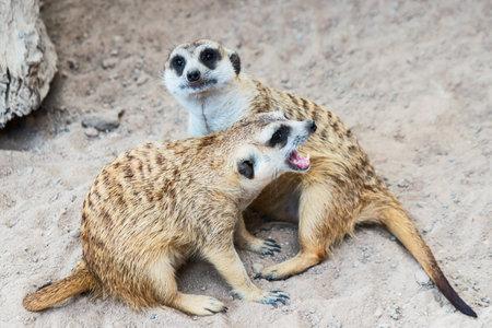 Meerkat watches the impending dangers. 版權商用圖片 - 162679994