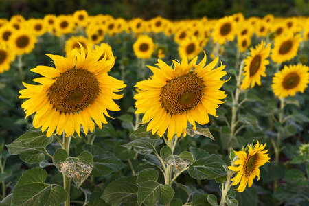 Giant yellow sunflowers bloom in the evening.