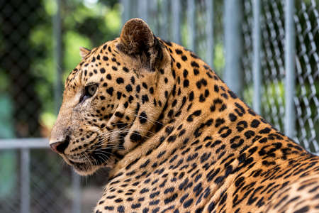 leopard resting during the day in a zoo