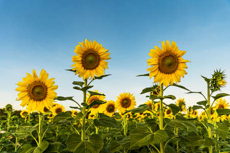 Giant yellow sunflower in full bloom and blue sky