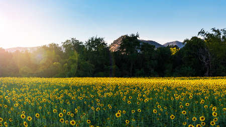 A glittering yellow sunflower field and golden sky in the evening
