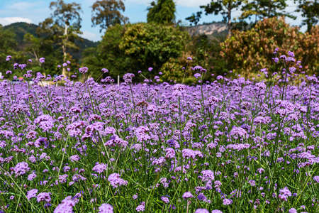Blooming Verbena field is a purple flower, The meaning of this flower is the happiness of everyone in the family. Besides, Verbena is also another meaning. Please pray for me.