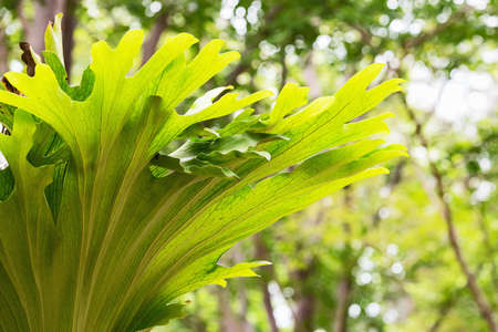 Platycerium superbum (commonly known as the staghorn fern, is a Platycerium species of fern)