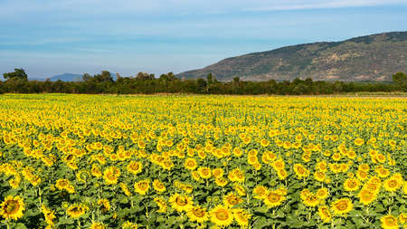 Big bright yellow sunflowers. The abundance of natural products 版權商用圖片