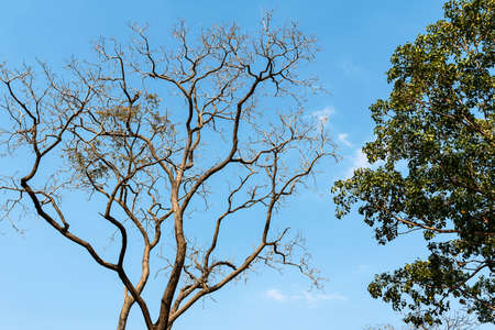The branches of the deciduous trees and the branches of the trees with green leaves against the blue sky. 版權商用圖片