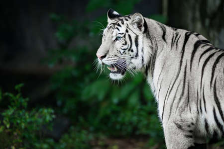 The white tiger is looking for food in the forest. 版權商用圖片
