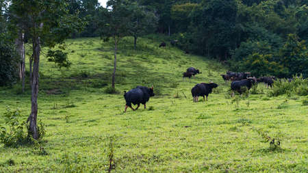A distant view of a herd of bison on the mountain Eating grass in the evening 版權商用圖片 - 163397602