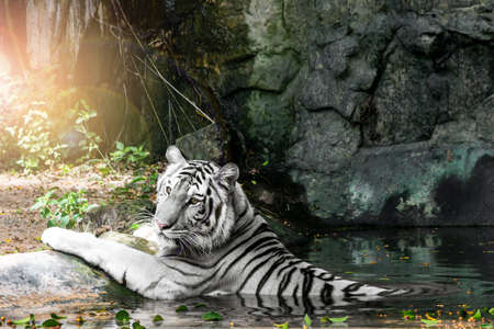 The white tiger sleeps in a pond to cool off on a very hot day. 版權商用圖片