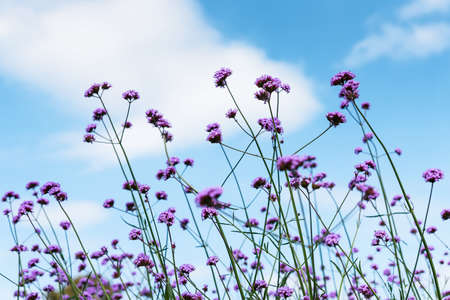 Blooming Verbena field is a purple flower, The meaning of this flower is the happiness of everyone in the family. Besides, Verbena is also another meaning. Please pray for me. 版權商用圖片 - 163377319