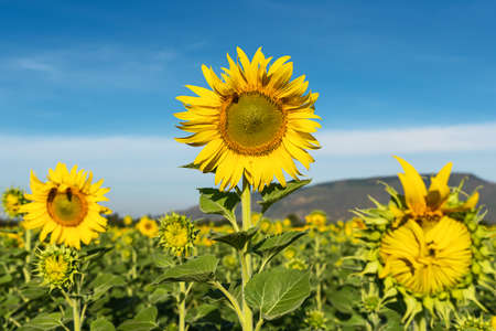 Sunflower natural background. Sunflower blooming. Close-up of sunflower. 版權商用圖片 - 163912214