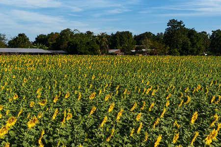 Bright yellow sunflower fields near rural communities