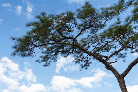 Pine Trees Against A Blue Sky.