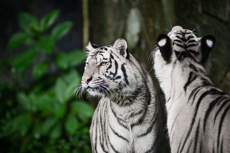 Two white tigers are looking for food in the forest. 版權商用圖片