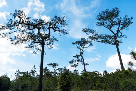 Beautiful pine trees with blue sky and white cloud, over lighting. 版權商用圖片 - 163911609