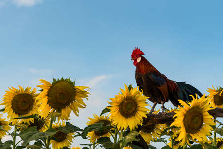 A rooster and a sunflower against a sky backdrop in the evening. 版權商用圖片