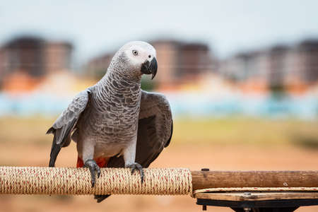 African grey parrot sitting on a wooden bar