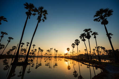 Silhouette of Palmyra Palm field reflection on the water during sunrise with beautiful sky at Pathum Thani Province, Thailand 版權商用圖片