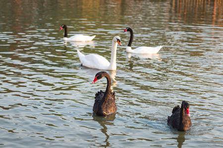 Black swan, white swan and black-necked swan in the pool. 版權商用圖片