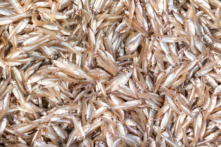 Small fresh-water fish (English: Thai river sprat; Scientific name: Clupeichthys aesarnensis)