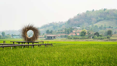 Green rice fields with wooden bridges stretching in the fields